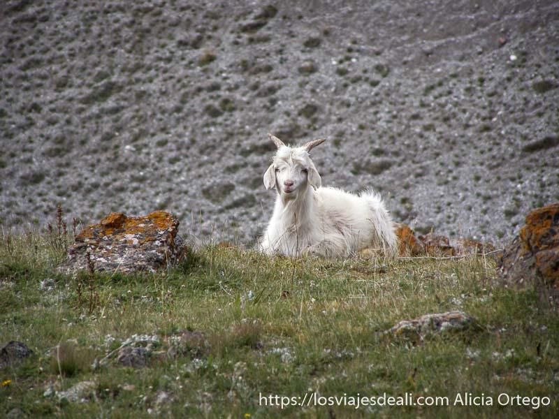 cabra de color blanco sentada en la hierba mirando a la cámara campo base del pico lenin