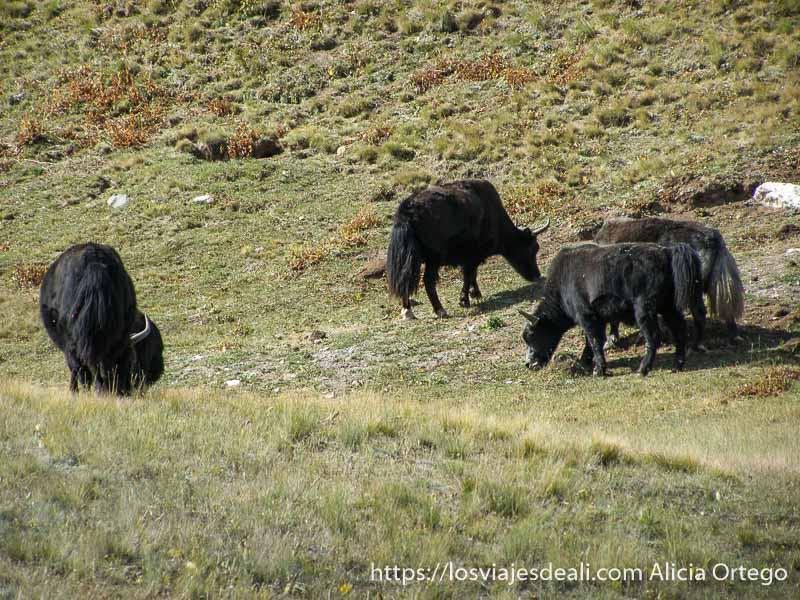 cuatro jacks en un prado pastando campo base del pico lenin
