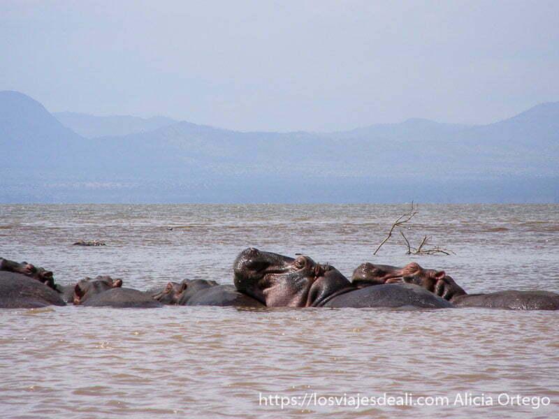 hipopótamos en el agua en el lago chamo