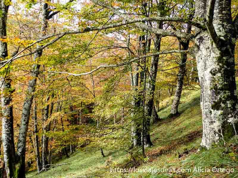 hayas de tronco grueso con hojas amarillas en selva de irati