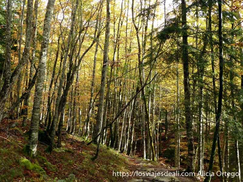 bosque de hayas con colores de otoño en selva de irati