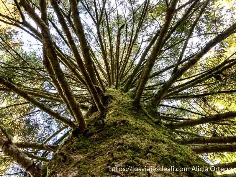 tronco grueso con ramas desnudas que parece una escalera en selva de irati