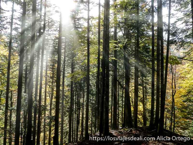 rayos del sol entrando en abanico entre troncos de árbol en selva de irati