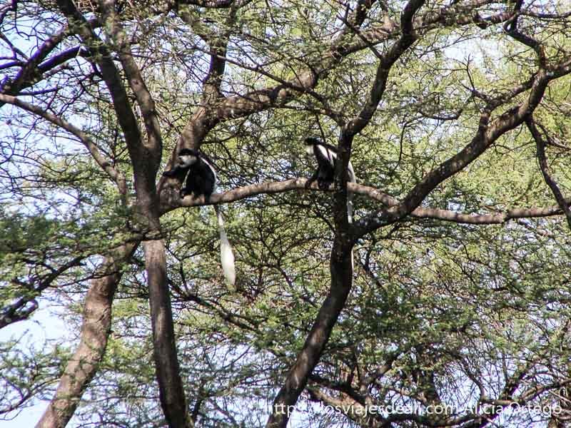 monos de color negro con larga cola y cara blancas subidos a un árbol