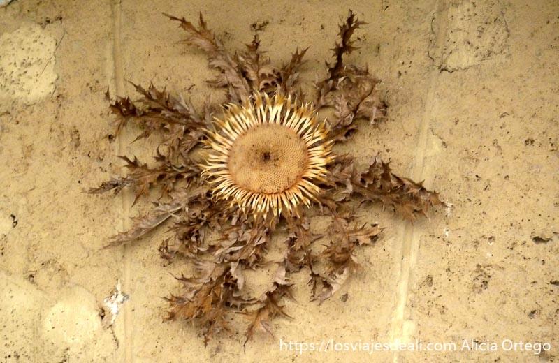 flor de sol en pared valle del roncal