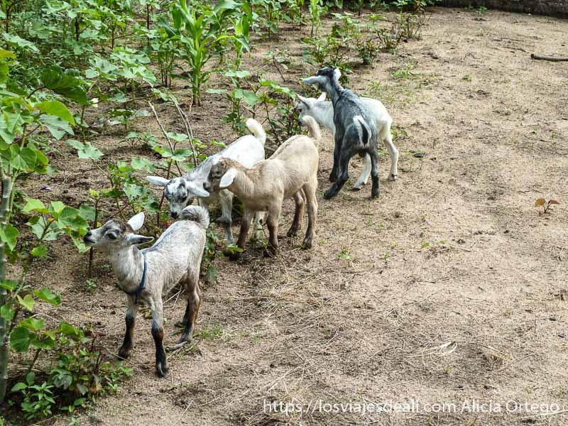cabritas enanas comiendo junto a huerto carreteras de camerún