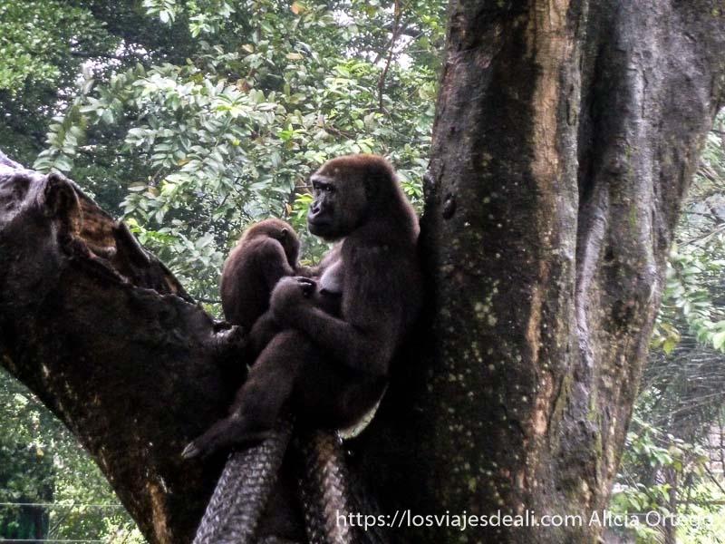 mamá gorila con su bebé en árbol en limbe