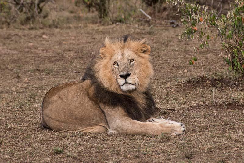 león macho con gran melena mirando de frente en masai mara