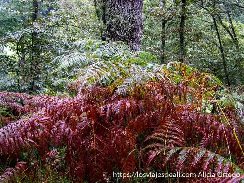 grandes helechos de color rojo en el bosque de parque natural saja besaya