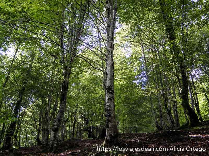 bosque de hayas verdes en el parque natural saja besaya