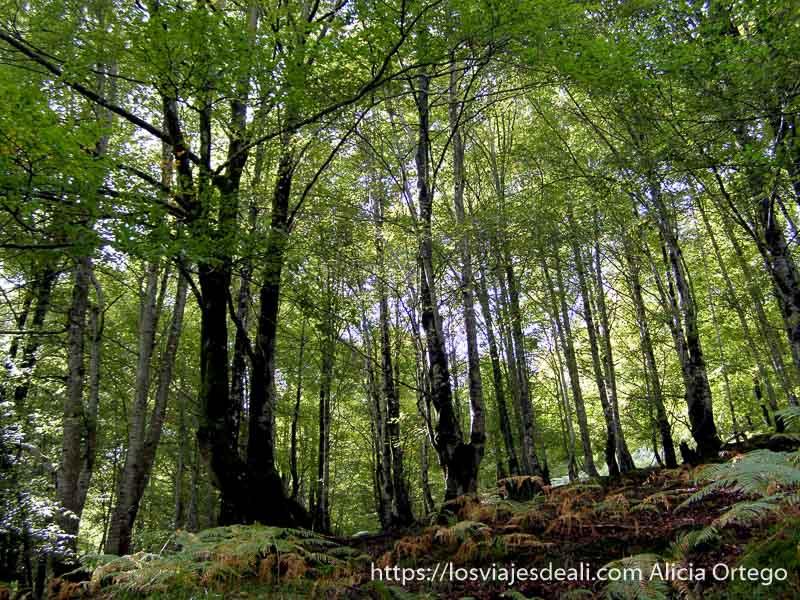 bosque de hayas con helechos en el suelo en el parque natural saja besaya
