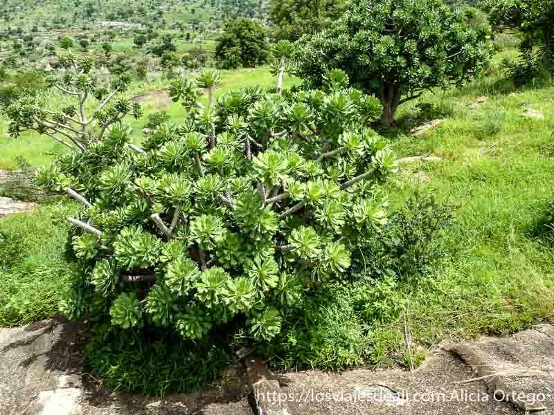 pequeños árboles de planta tipo cactus muy verdes trekking en el monte ziver