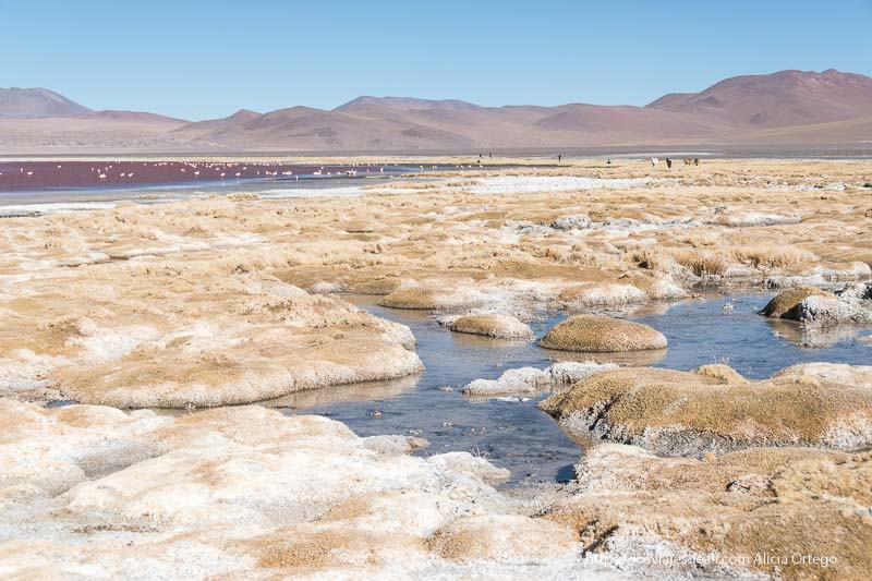 vegetación en la orilla de la laguna colorada reserva nacional de fauna andina eduardo avaroa