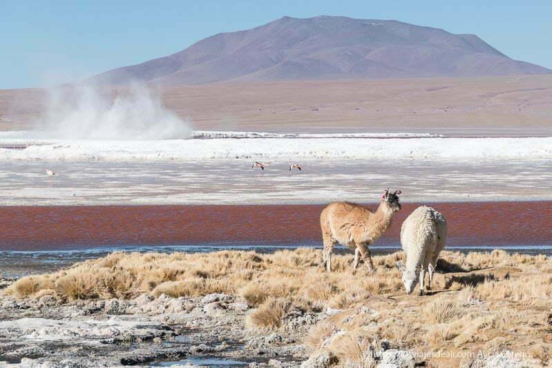 dos llamas comiendo en la orilla de la laguna colorada y detrás un gran remolino de polvo bolivia