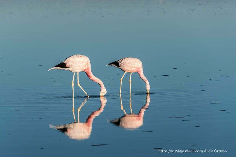 dos flamencos rosas reflejándose en el agua mientras comen salar de atacama