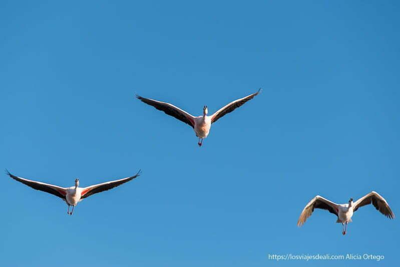tres flamencos volando en triángulo con cielo muy azul salar de atacama