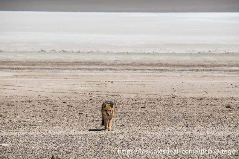 zorro andino andando hacia nosotros en la reserva nacional de fauna andina eduardo avaroa