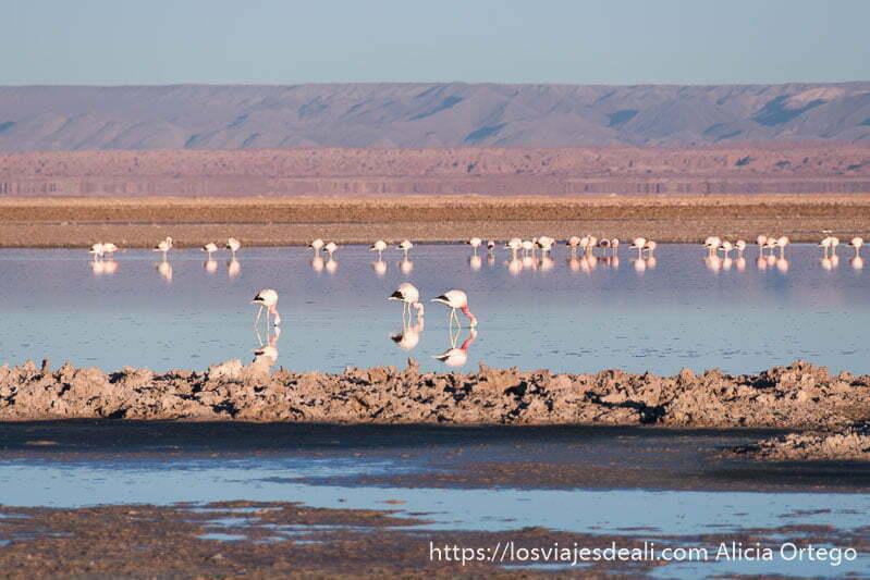 flamencos en la laguna chaxa con luz de amanecer salar de atacama