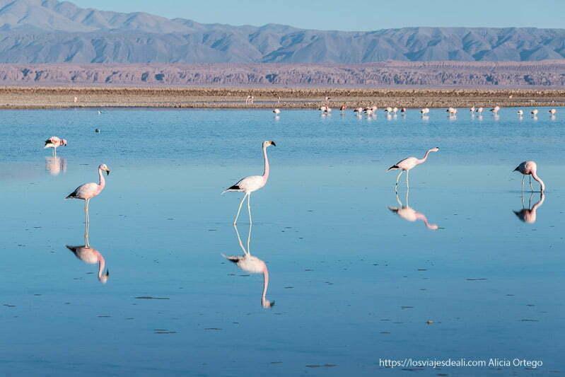 flamencos en la laguna chaxa salar de atacama