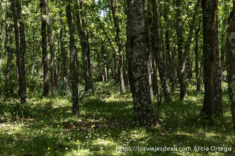 bosque de robles con musgo en los troncos, hierba y flores