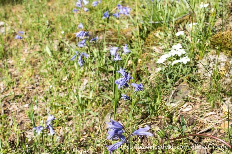 flores de color morado tipo campanillas en la hierba verde