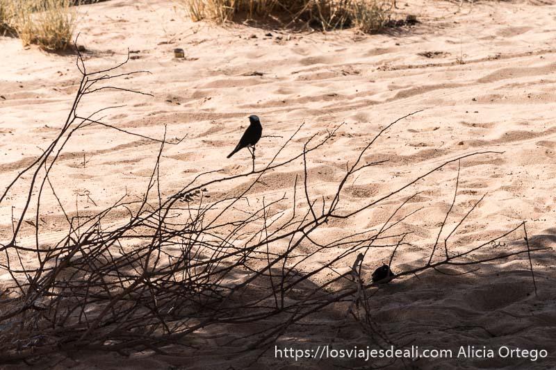 pájaro mula mula sobre una rama en el desierto fauna y flora del desierto del sahara