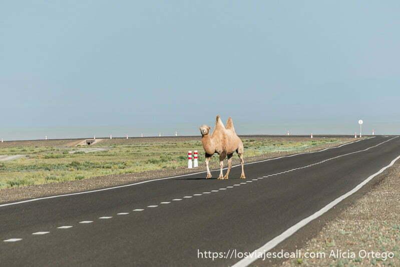 camello bactriano de dos jorobas cruzando carretera asfaltada en mongolia