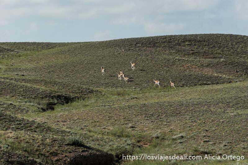 gacelas subiendo corriendo la ladera de una loma verde en el viaje a mongolia