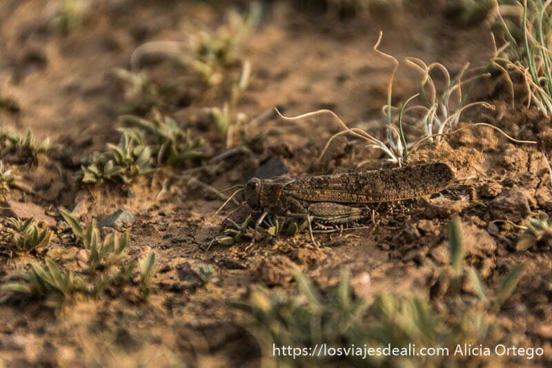 langosta o chicharra del desierto del gobi de color arena