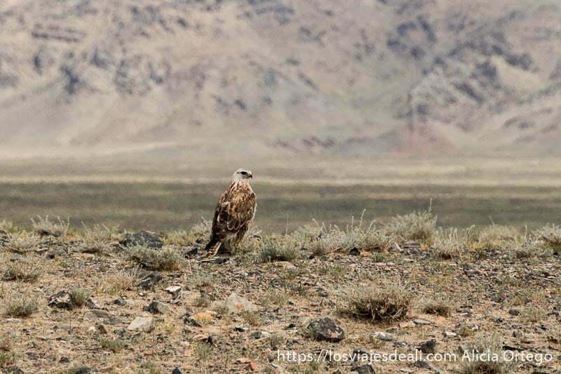 águila de cabeza blanca y plumas marrón claro posada en la estepa del desierto del gobi