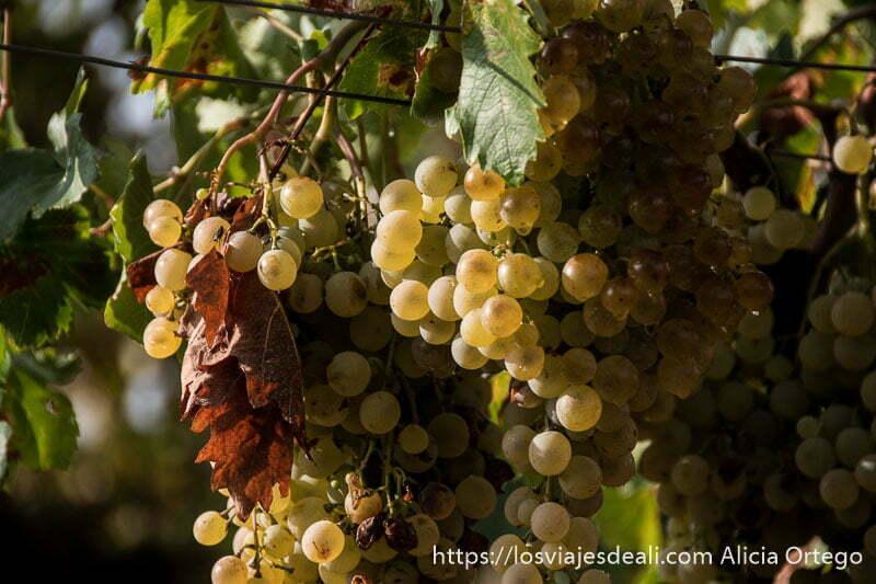 racimos de uvas iluminadas por el sol en la viña experiencia en la vendimia