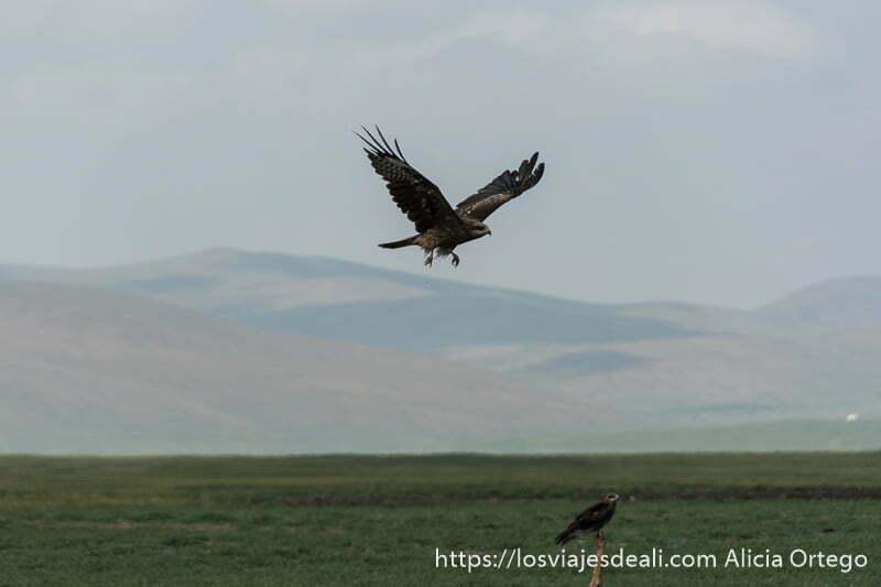 un águila volando y otra posada en un palo en la estepa de mongolia