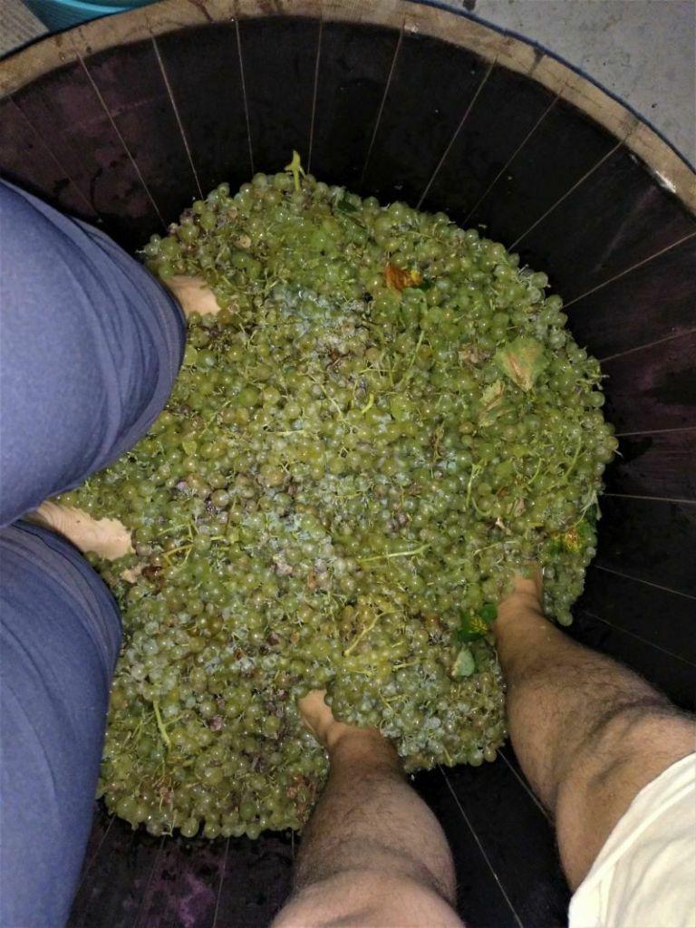 pisando la uva en una cuba experiencia en la vendimia
