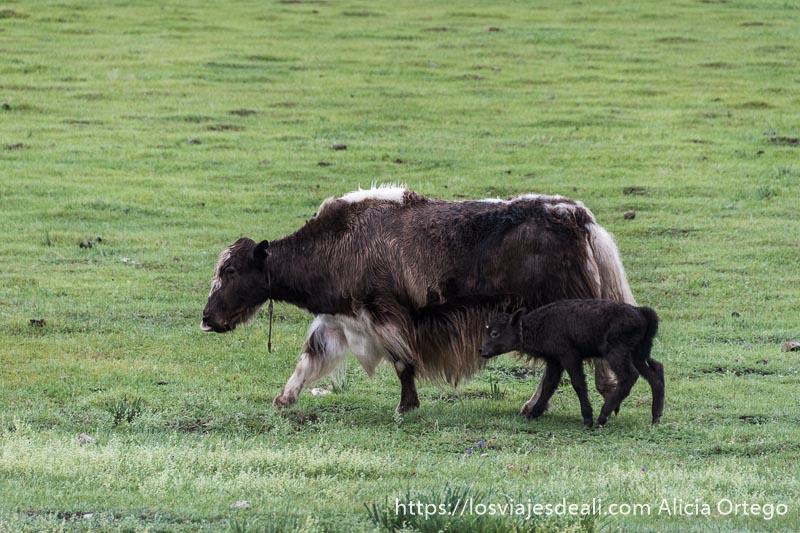 yak cruce de vaca y su ternero andando por prado verde en el valle de orkhon