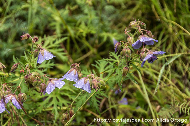 flores campanillas de color morado mojadas por la lluvia en un bosque del valle de orkhon