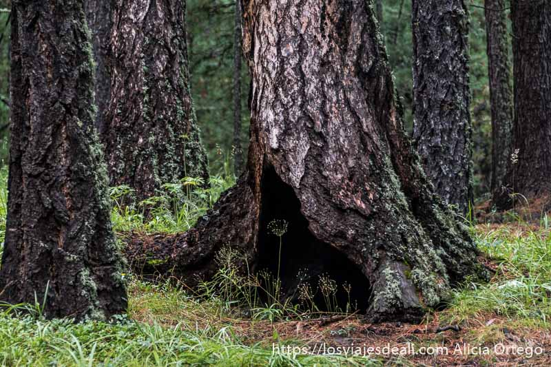 gran tronco de árbol con agujero en su base en el bosque del valle de orkhon