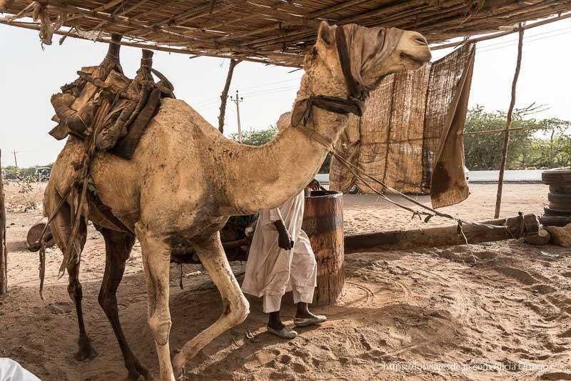 camello con ojos tapados ando vueltas para accionar molino de aceite junto a la carretera cerca de Jartum