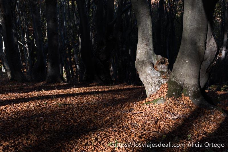 dos troncos de haya naciendo de misma raíz con suelo lleno de hojas secas a su alrededor y rayos de sol iluminando como a rayas