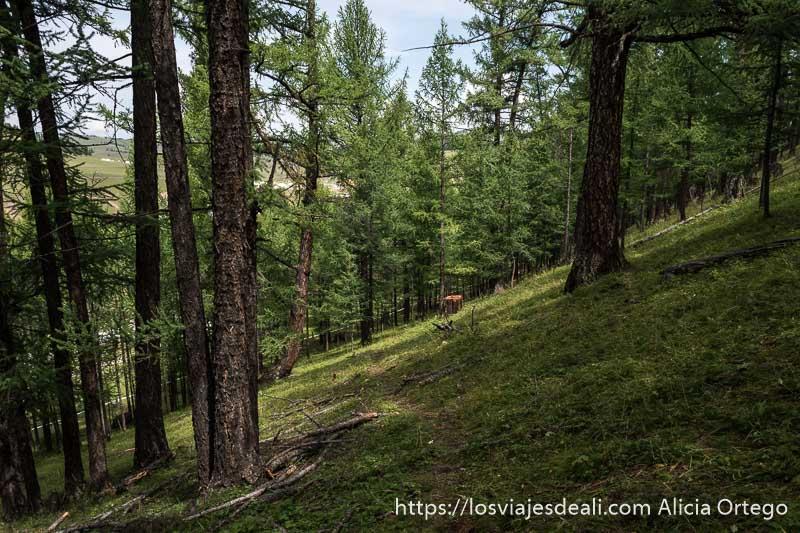 bosque de alerces que son como pinos en ladera empinada con hierba