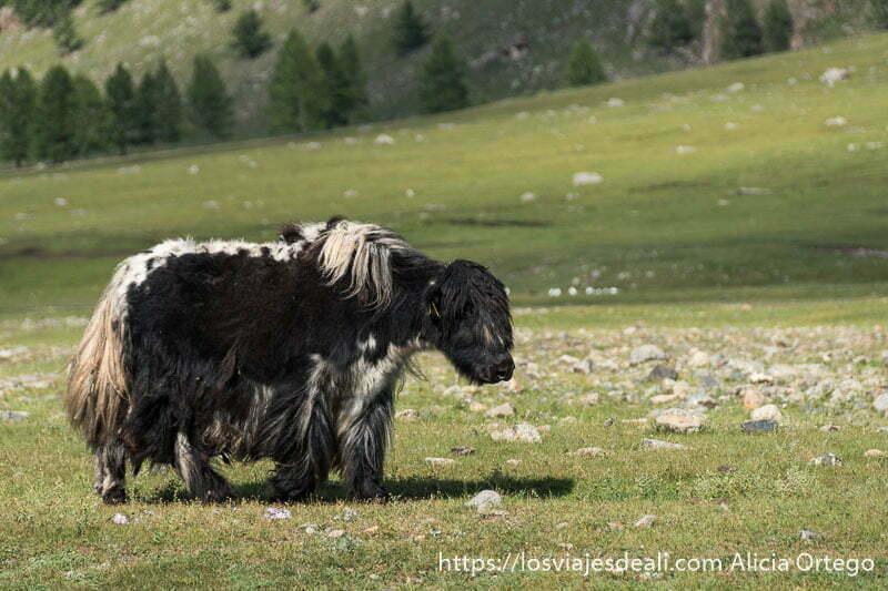 yac de pelaje negro excepto el lomo que es blanco andando por un prado del valle de khorgo en mongolia central
