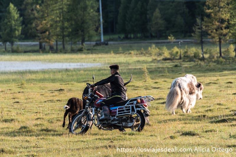 chico montado en moto conduciendo a yacs en un prado en mongolia