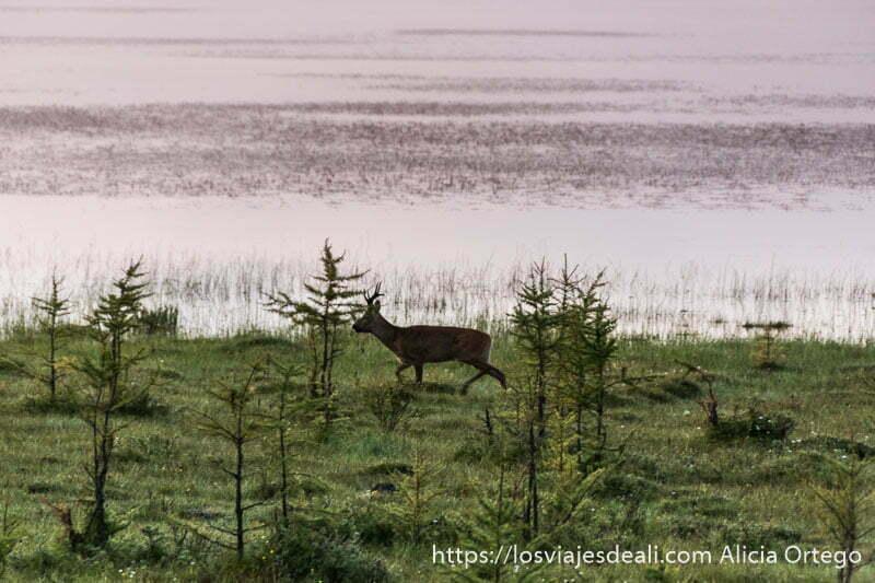 ciervo corriendo junto a la orilla del lago entre pinos jóvenes con luz rosada del amanecer