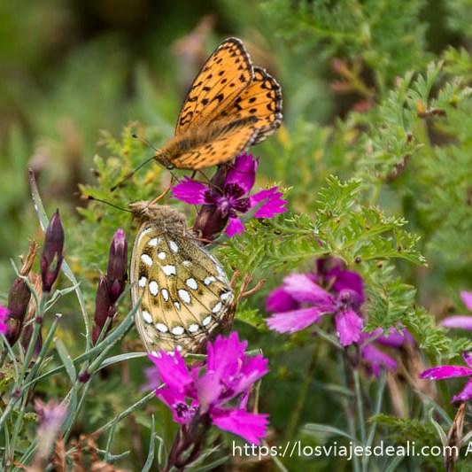 dos mariposas de color naranja y beige libando en flores rosas