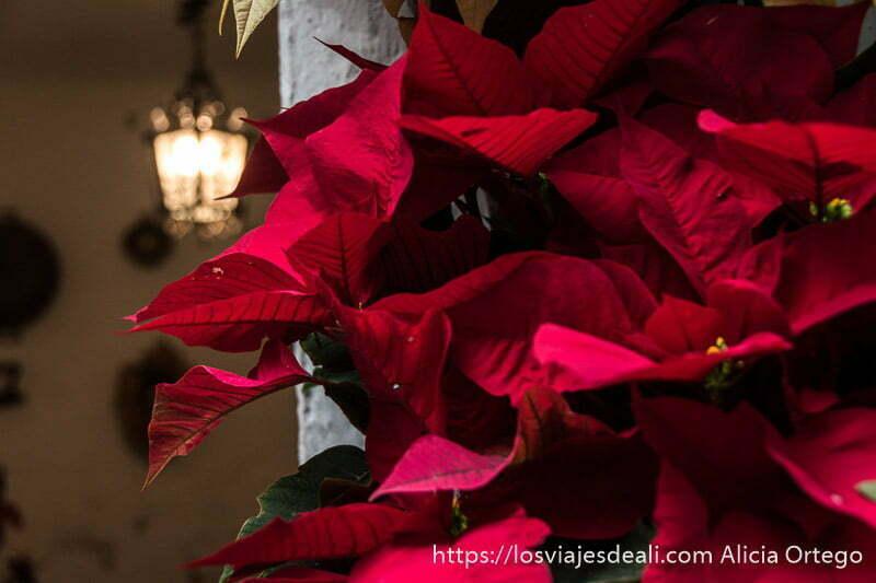flor de pascua de color rojo y al fondo farol de hierro encendido en uno de los patios de córdoba