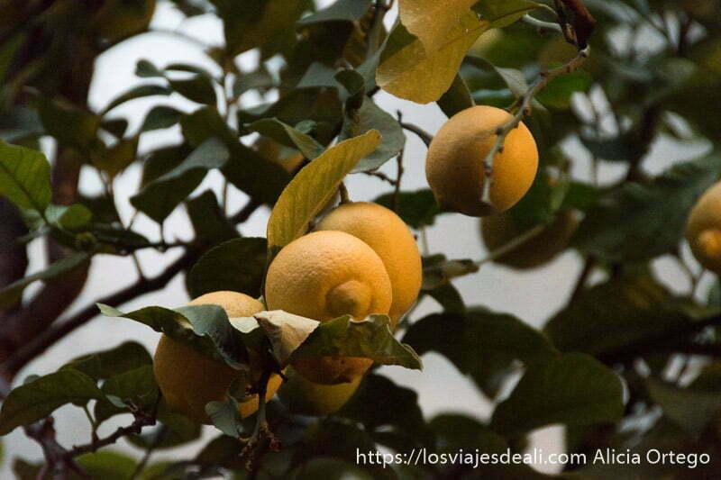 limones en rama del árbol en uno de los patios de córdoba