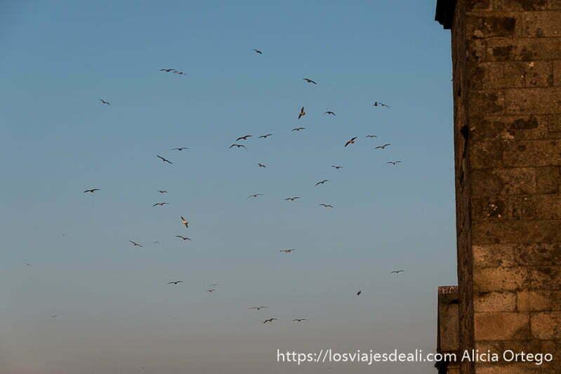grupo de gaviotas volando formando un círculo en el cielo del atardecer y a la derecha un poco de muro de piedra de un campanario