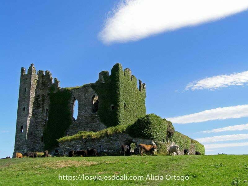 castillo en ruinas parcialmente cubierto de hiedra muy verde con vacas alrededor y unas nubes en forma de líneas blancas con cielo muy azul en el ring of kerry