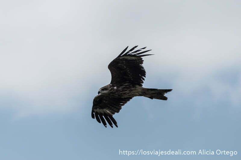 águila real volando con alas desplegadas sobre cielo azul con nube blanca fauna de mongolia