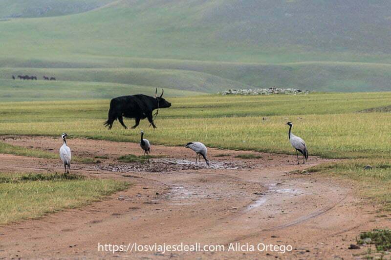 cuatro grullas en medio de una pista que hace curva y un toro corriendo con la cabeza alzada un poco más allá en un prado fauna de mongolia