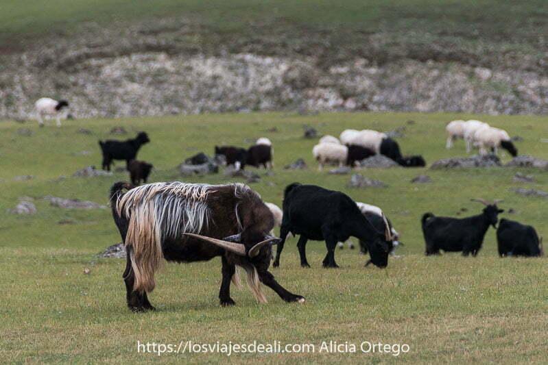 macho cabrío con grandes cuernos rascándose una pata con la cabeza ladeada es de color marrón pero con mechones largos casi blancos en el lomo fauna de mongolia